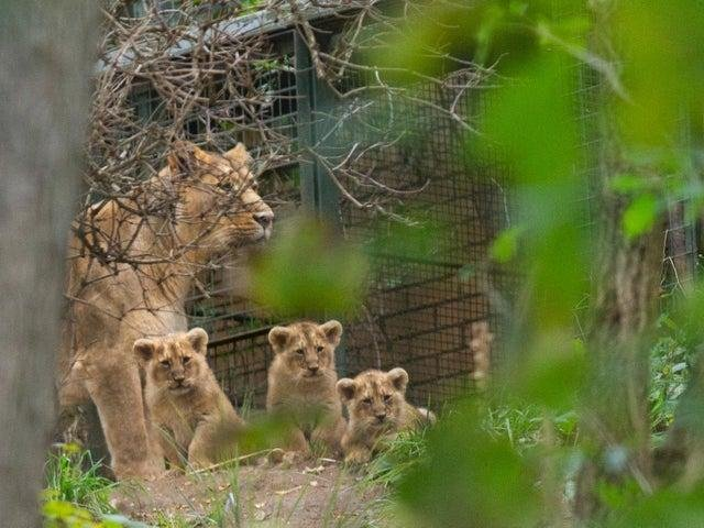 The three Asiatic lions have now been named. Picture: Laura Moore/RZSS