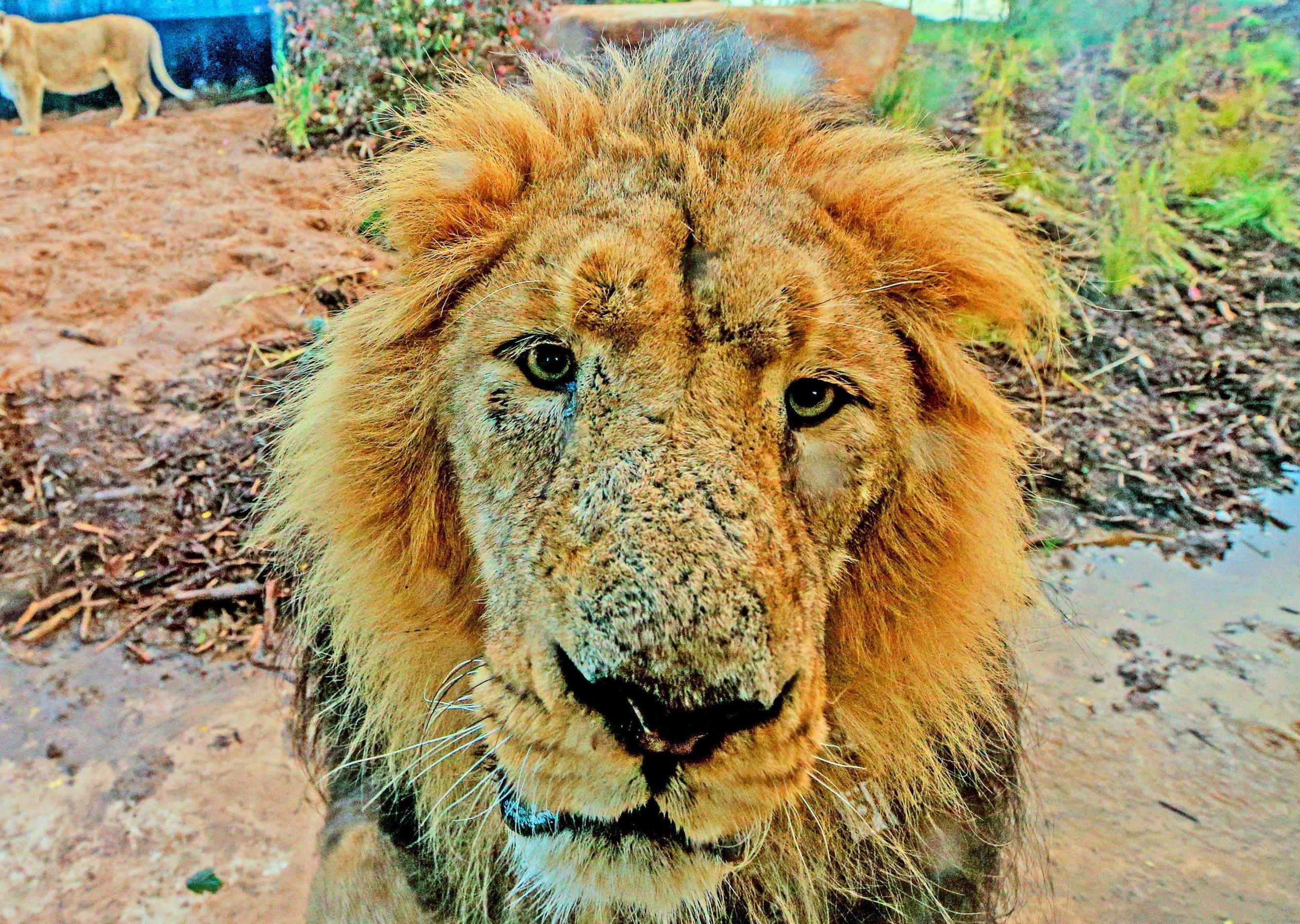 Coronavirus: A lion walks into a bar and other jokes for the lockdown – Steve Cardownie