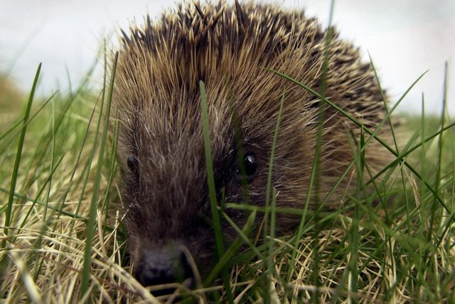 Hedgehogs have a new and unnatural threat in the shape of robotic lawn mowers (Picture: Andrew Milligan/PA)