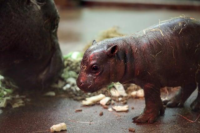 The pygmy hippo calf was born at Edinburgh Zoo on 17 April