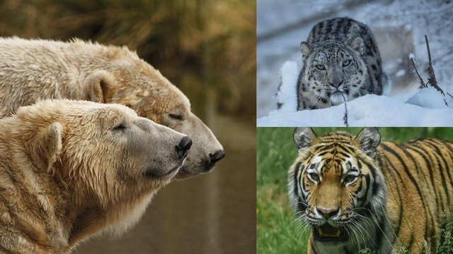 The winner will take their pick of feeding polar bears, a snow leopard or a tiger at the Highland Wildlife Park (Photo: RZSS Media).