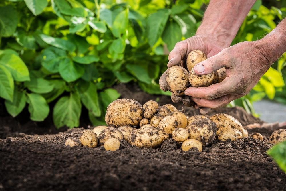 This is how to plant potatoes - and the common problems to look out for