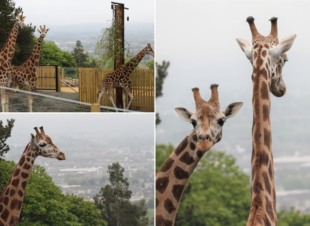 The new giraffes have started to settle in.