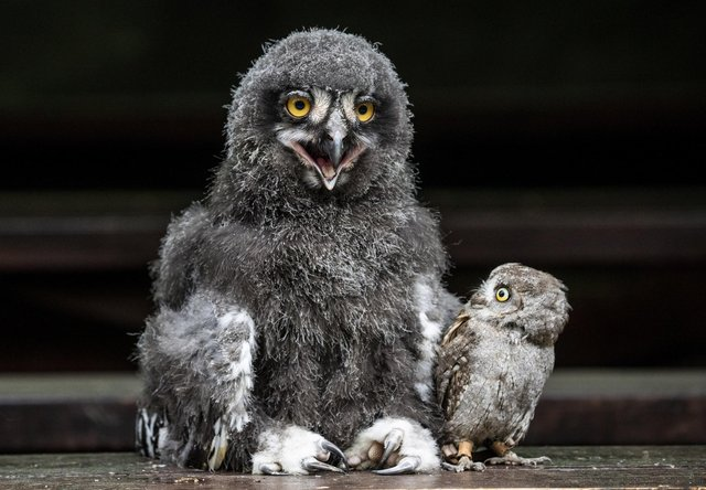 Little Groot is taken aback at the Snowy owlet's resemblance to Darth Vader