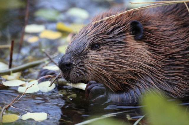 Did you know about the unusual connection between beavers and vanilla flavourings? (Photo: Shutterstock)