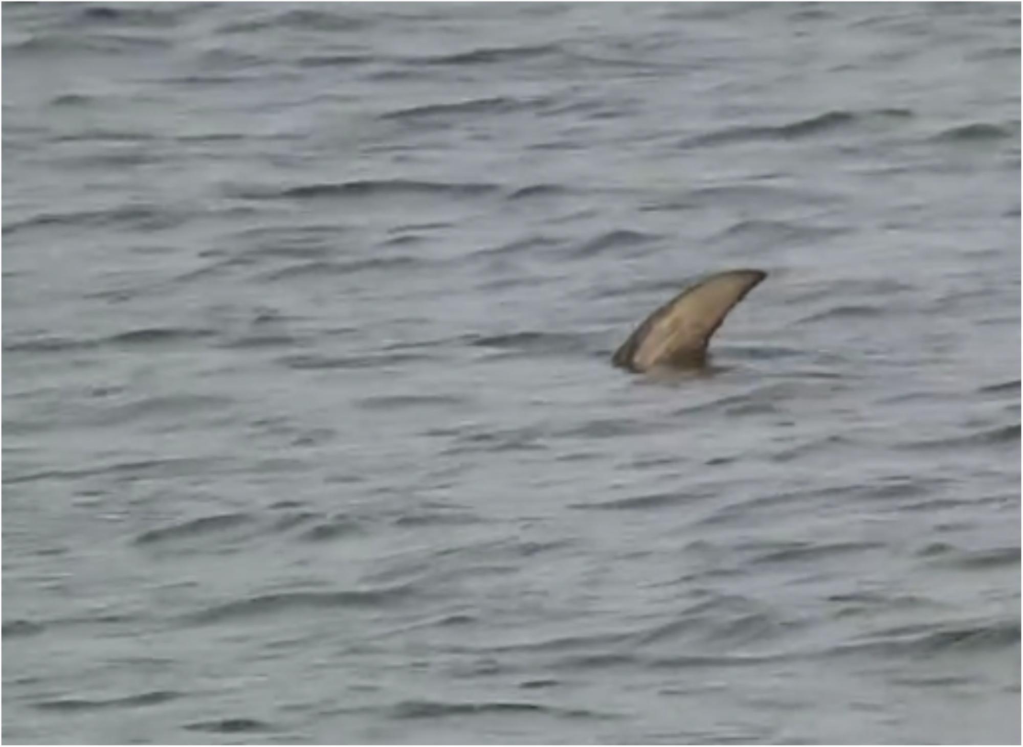 Incredible and rare video shows 'swordfish' swimming off Portobello coast