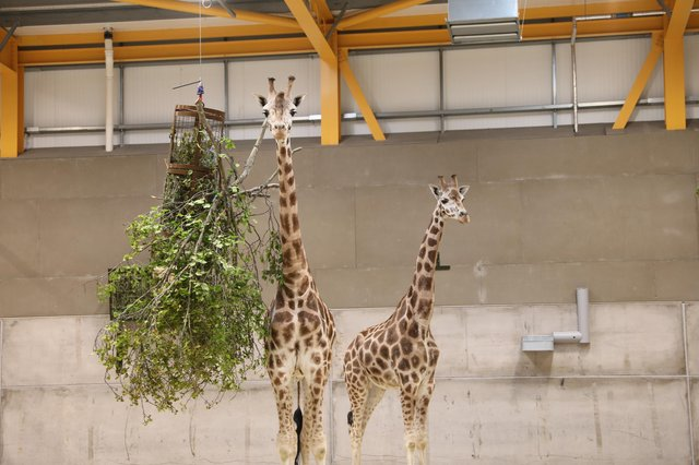 Ronnie and Arrow are the first of the giraffes to arrive at Edinburgh Zoo, the first time the giant animals have been in the Capital for 15 years