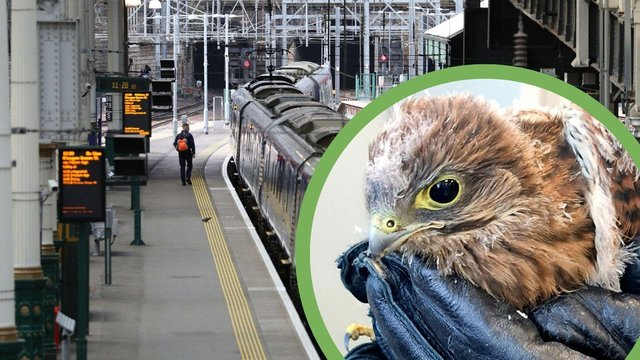 The Kestrel was found in Edinburgh Waverley on Tuesday after losing its way (Photo: Network Rail & Andrew Milligan).