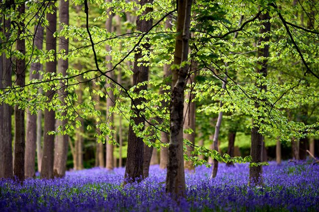 Hayley Matthews is planning to plant some bluebells from the National Trust for Scotland, which as the picture above shows are truly beautiful (Picture: John Walton/PA Wire)
