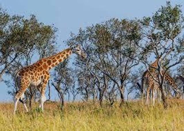 Rothschild's Giraffes in the wild