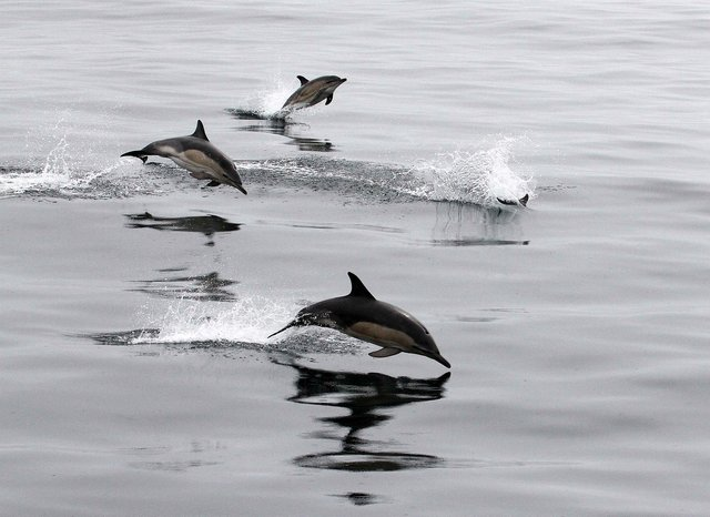 Common dolphins were the second most abundant species across the UK, seen 274 times, including groups of up to 200 individuals