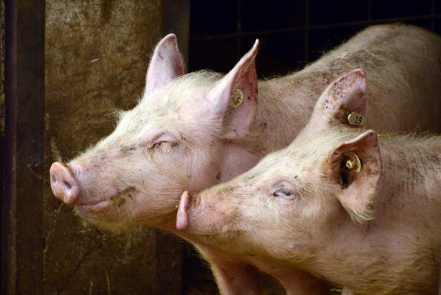 Researchers hope the agreement will lead to disease-resistant pigs.