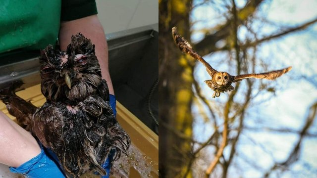 Before and after shot of the female tawny owl since receiving care from the Scottish SPCA (Photo: Scottish SPCA).