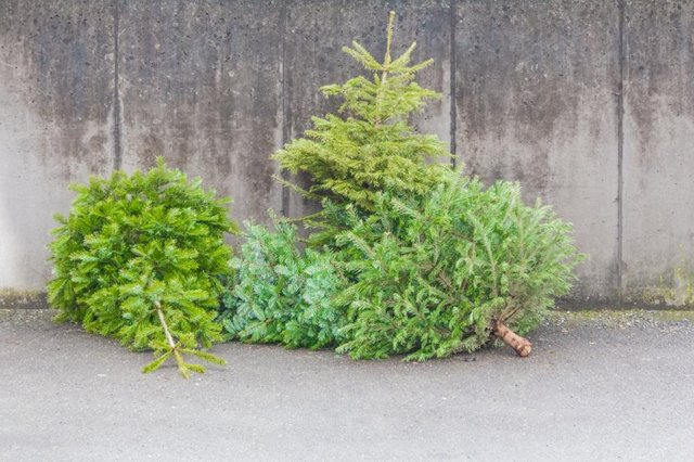 It's easy to recycle your real Christmas tree in January (Shutterstock)