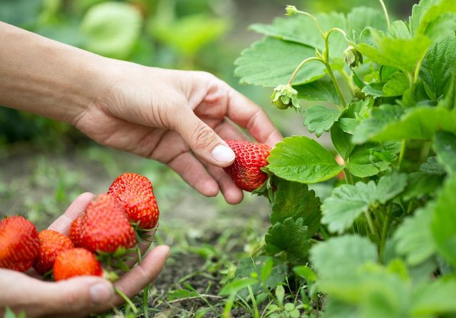 A trip to a pick your own fruit farm is a great day out for all the family this summer