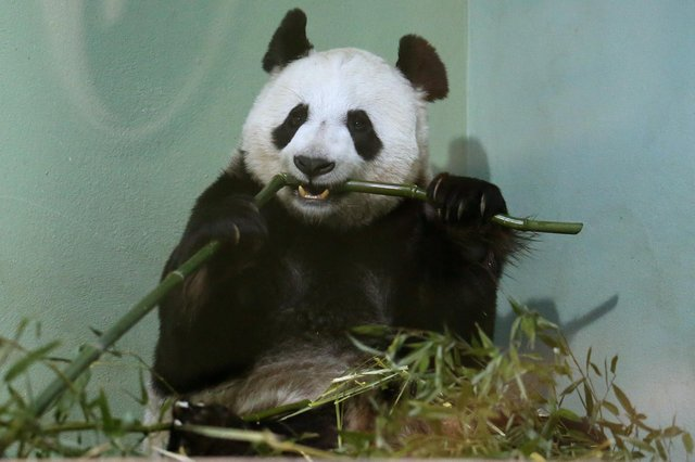 Giant panda Tian Tian was looking just beautiful when Hayley Matthews went to Edinburgh Zoo (Picture: Andrew Milligan/PA)