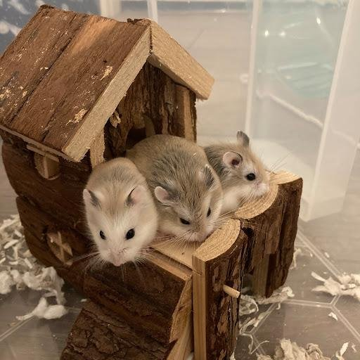 The adorable hamsters arrived as a surprise after a male and female were sold to an unsuspecting family, but they are not on the hunt for their forever homes