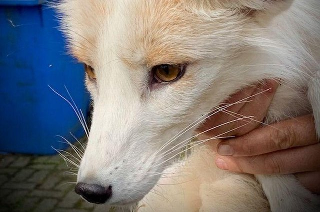 The 'terrifying animal' was a tame white fox