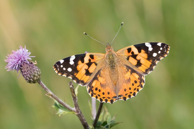 Conservationists said an unseasonably cold and wet spring had hit butterflies hard, which is why the Big Butterfly Count 2021 is important (Shutterstock)