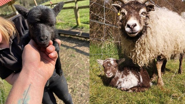 Two lambs, aged 48 hours and 72 hours old, went missing from Almond Valley Heritage Centre (Photo: Almond Valley Heritage Centre).