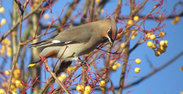A waxwing in Scotland.