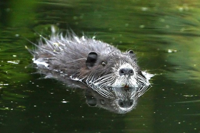 Within a year of beavers being declared a protected species, a fifth of the population was killed under licence