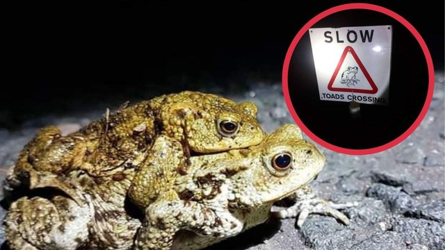 A road has been in closed in Edinburgh to make way for toad migration (Photo: Jake Chitty and Gary Hovell).