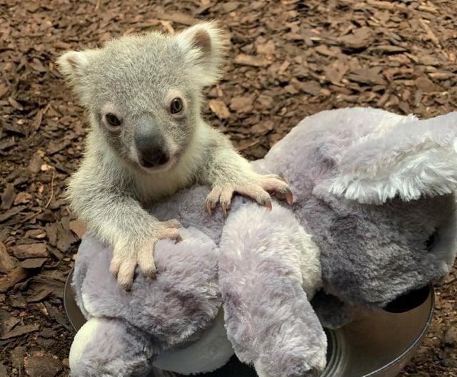 The UK's only koala joey - named Dameeli in tribute to its native homeland Australia.
