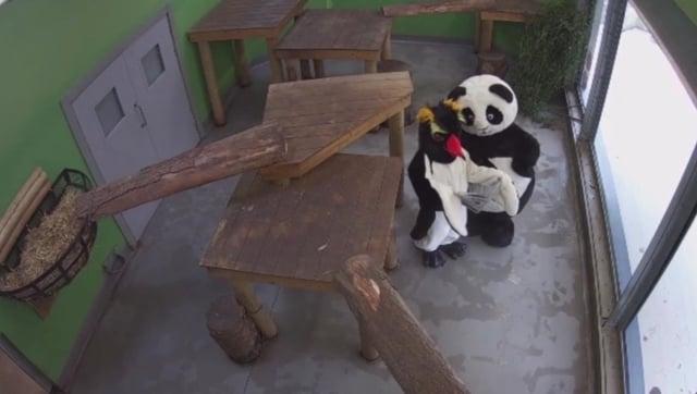 Panda and penguin enjoying a read of Edinburgh Evening News at Edinburgh Zoo picture: supplied