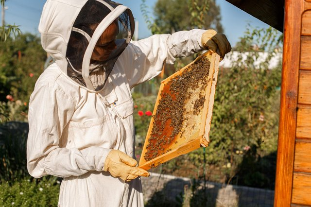 A beekeeper at work with her hives