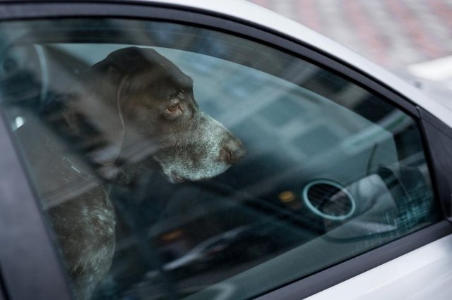 Dogs can die if left inside a car on a hot day (Picture: Shutterstock)