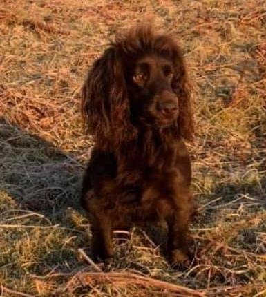 Lily the cocker spaniel has been missing for more than 58-hours.