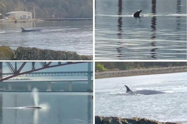 An incredibly rare Sei Whale has been spotted in the Firth of Forth.