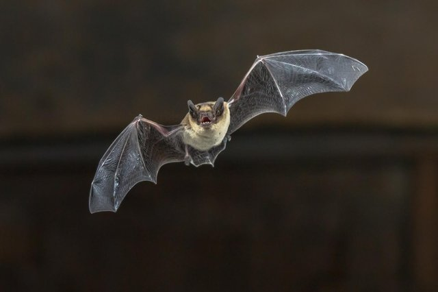 Bats pose no 'higher threat' of spreading viruses say researchers. Picture: Shutterstock