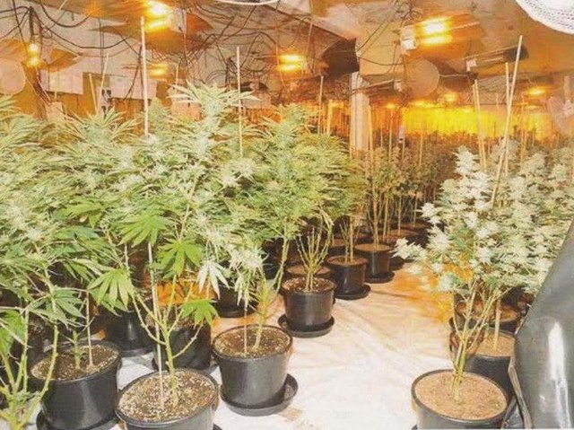 Cannabis being grown by criminal gang