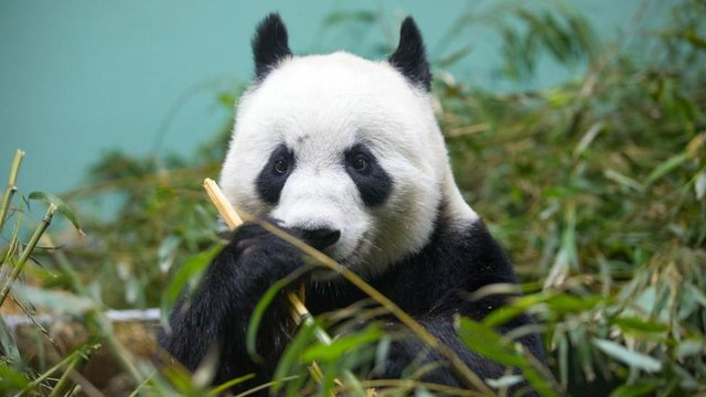 Tian Tian, who gave birth once before in China in 2007, was artificially inseminated under expert veterinary care at Edinburgh Zoo in recent days.