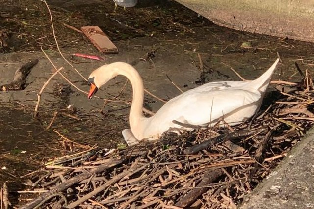 A swan in Leith has been filmed as it cleared its nest of litter (Picture: Susan McColl)
