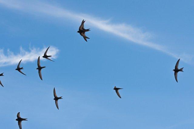 Common swifts (Apus apus) in flight in the skies over Edinburgh