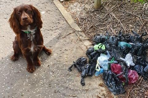 Stanton the Cocker Spaniel standing beside the pile of dog waste bags. Pic: Paul Gilbertson.